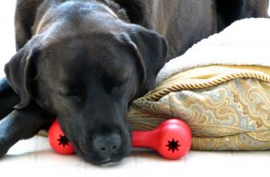 Resting dog with red toy beneath face