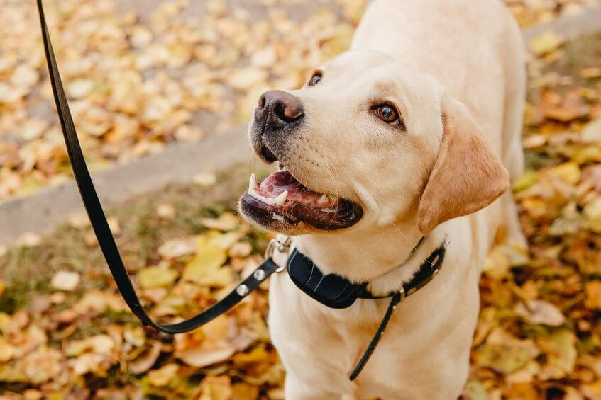 Photo of dog with electric collar