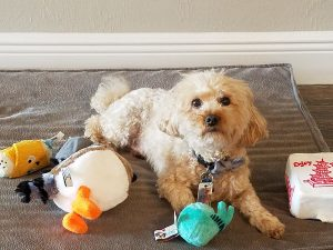 Photo of Toy Poodle with BarkBox toys