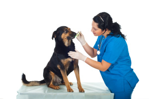 Dog on table getting his teeth brushed clean