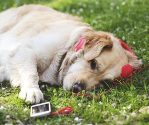 Dog resting on grass listening to music through headphones