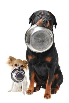 a white chihuahua and black rottweiler holding empty dog bowls in their mouths