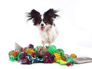 papillon dog excited by dog toys