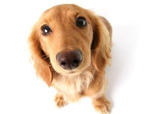 long haired dachshund sitting down