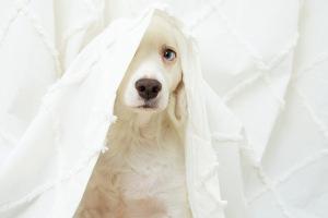 Dog hiding under white sheet