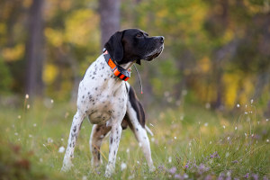 Dog with GPS tracker in field