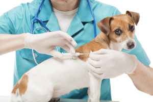 Vet implanting dog microchip