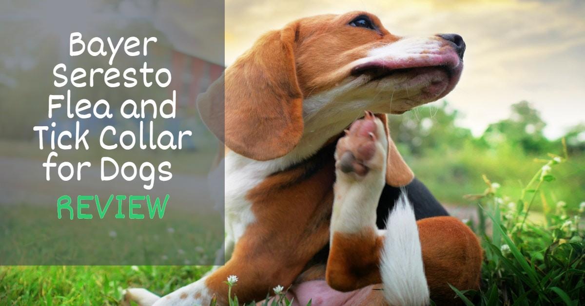 A Beagle scratching itself in a field of grass
