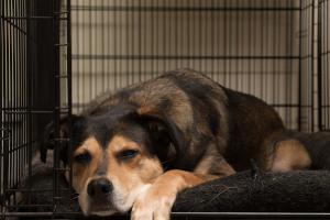 Dog sleeping overnight in crate
