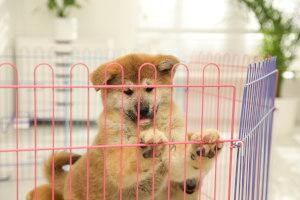 Akita Inu puppy in playpen