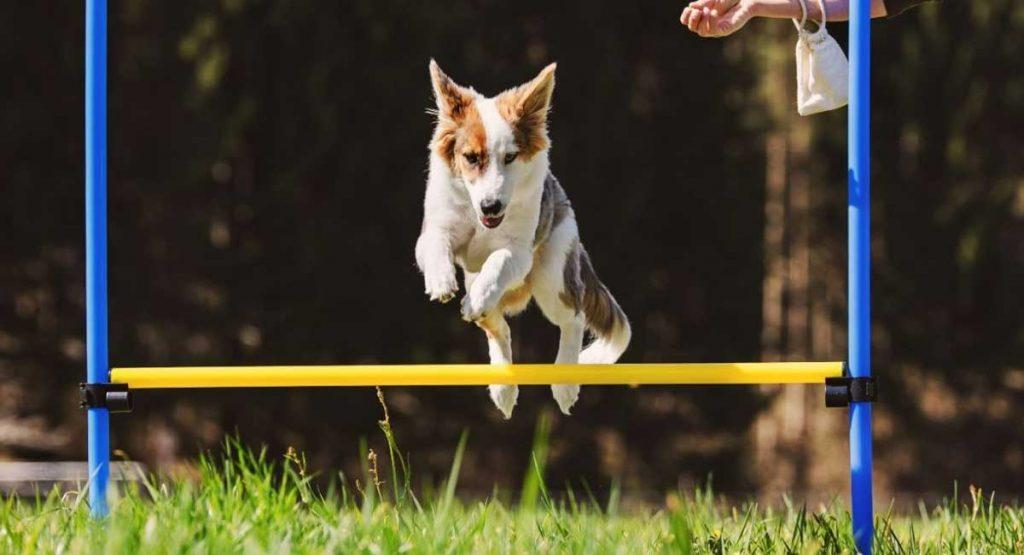 dog leaping over obstacle
