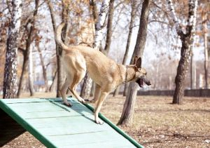 Dog playing on wooden ramp