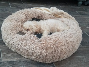 Toy poodle in PetCraftSupply calming bed