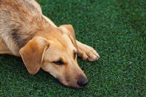 Dog in an artificial grass