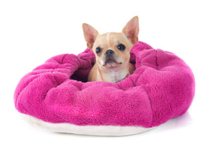Chihuahua in calming bed