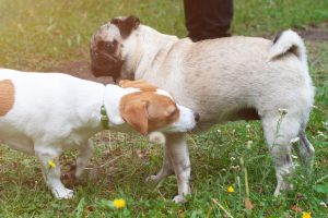 dog sniffing each other's behinds