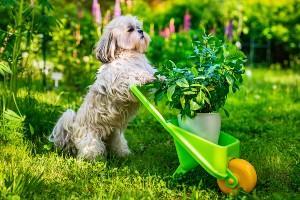 Shih tzu dog helps in gardening
