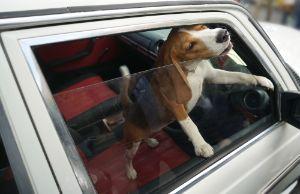 Dog alone inside a car