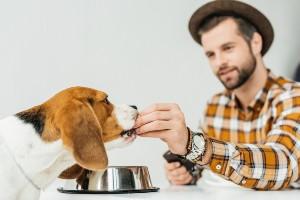Man feeding his beagle dog