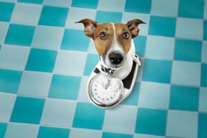 Jack Russell dog weighing himself on scale