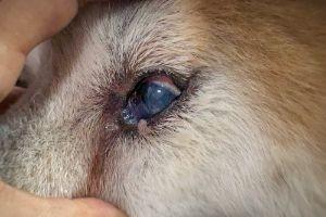 conjunctivitis in dog