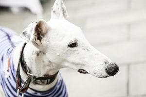 dog with martingale collar