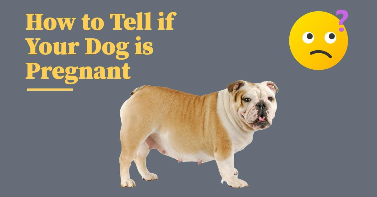 Have you noticed changes in your female dog? Many owners wonder how to tell if their dog is pregnant. The average length of a dog pregnancy is between 62 and 64 days. Because this is a pretty short pregnancy, knowing what to look for is essential to make sure you and your dog are prepared. This vet-written article will discuss how to tell if your dog is pregnant, what changes to look for and the tests that can be done to confirm it. Disclaimer: The information provided in this article is general in nature and should not be used for diagnosing your dog's specific condition and is not a substitute for professional care. You should consult with your veterinarian. General Signs of Pregnancy While the signs of pregnancy may vary greatly among individual dogs, here are some general signs how to tell if your dog is pregnant: Weight gain and an enlarged abdomen Changes in size and color of nipples Clear vaginal discharge Vomiting Changes in appetite Changes in behavior It is important to note that these signs don't always mean that your dog is pregnant. Many medical conditions have similar symptoms. If you notice these symptoms, make an appointment to have your dog evaluated by a veterinarian. Weight gain and enlarged abdomen In the early stages of pregnancy, dogs show very few signs that they are pregnant. The first thing you typically notice is weight gain or a slight enlargement of the abdomen. These changes usually occur in the later stages of pregnancy. Changes in size and color of nipples In these later stages of pregnancy, you may also notice your dog's nipples are more prominent and pink. This change is due to increased blood flow to the nipple as your dog's body prepares to nurse puppies. As they get closer to giving birth, the mammary glands will also become enlarged and fill with milk. A clear discharge from the nipple may be observed. Just before delivery, you may even see a few drops of milk. Vaginal Discharge Around the third week of pregnancy, it is normal to