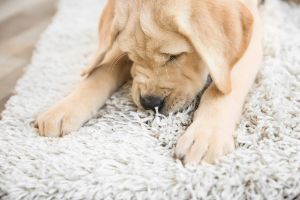 puppy on a dirty carpet