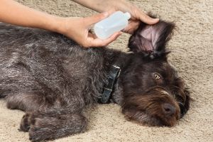 squeezing a ear cleaning solution for dog