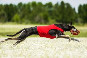 Greyhound sprinting in the race track