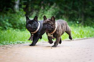 Two bulldogs running