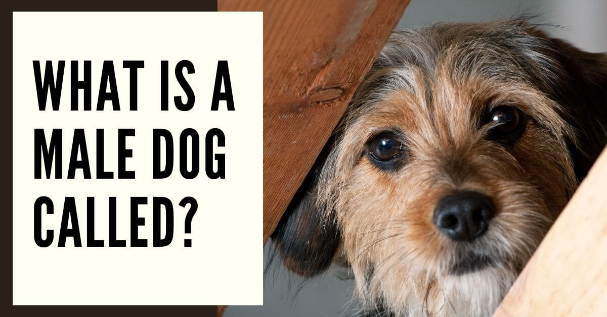 What Is A Male Dog Called