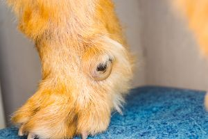 dewclaw with ingrown nail