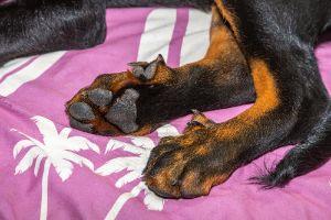 Beauceron puppy's dewclaw