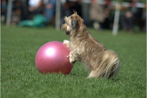Dog bumping chest into purple ball