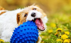 dog chewing his toy