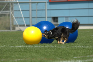 Dog pushing large yellow ball